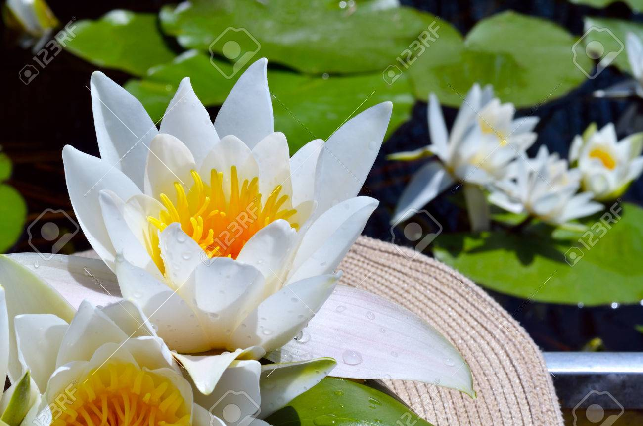 Bouquet water lily in the women's hat on a lake among a green leaves. - 60807690