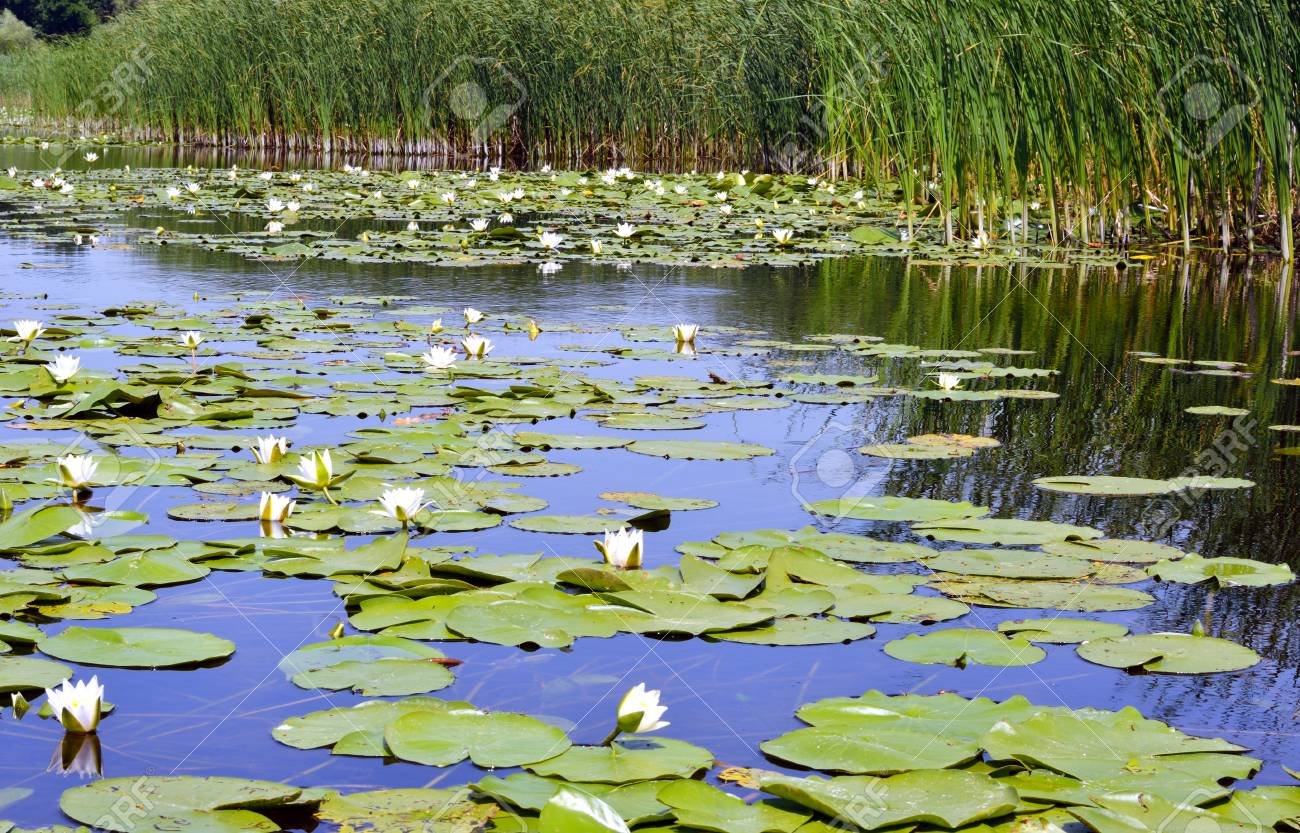 Flowering Water white lily on the river Dnieper. Blossoming Water-lily. - 60807710