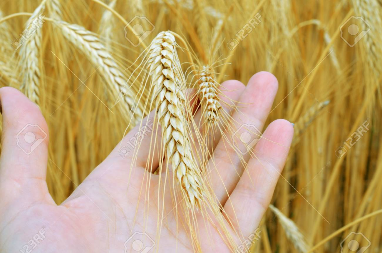Wheat ears in the hands.Harvest concept - 60807712