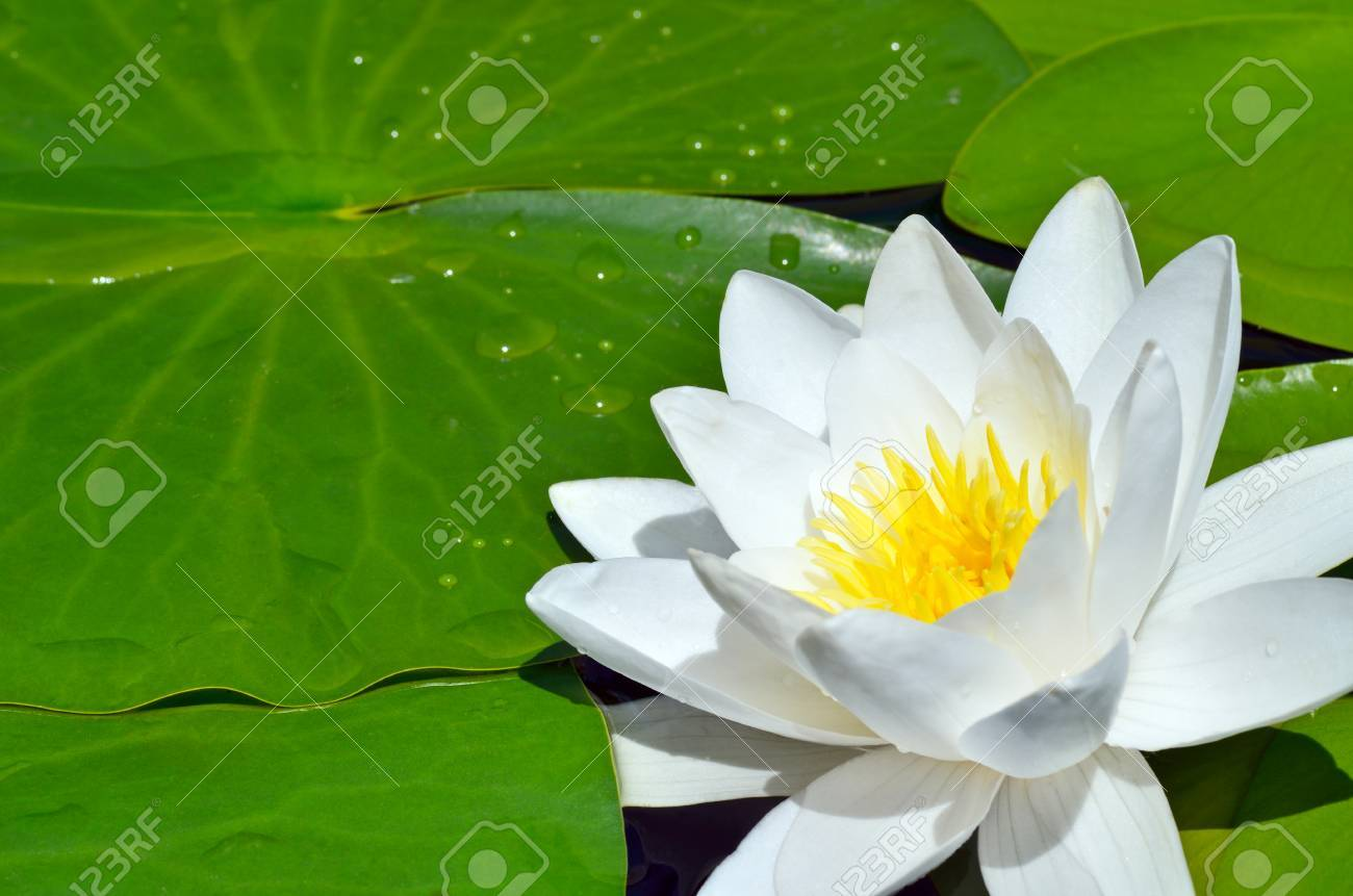 White Lily in the pond on a bright sunny day - 66531067