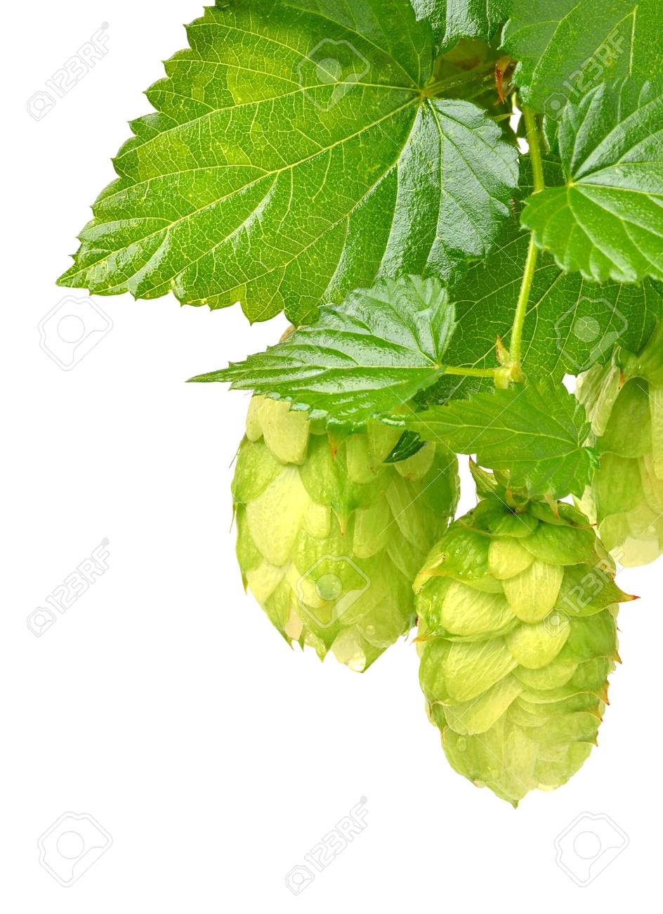 hop isolated on a white background - 72039205