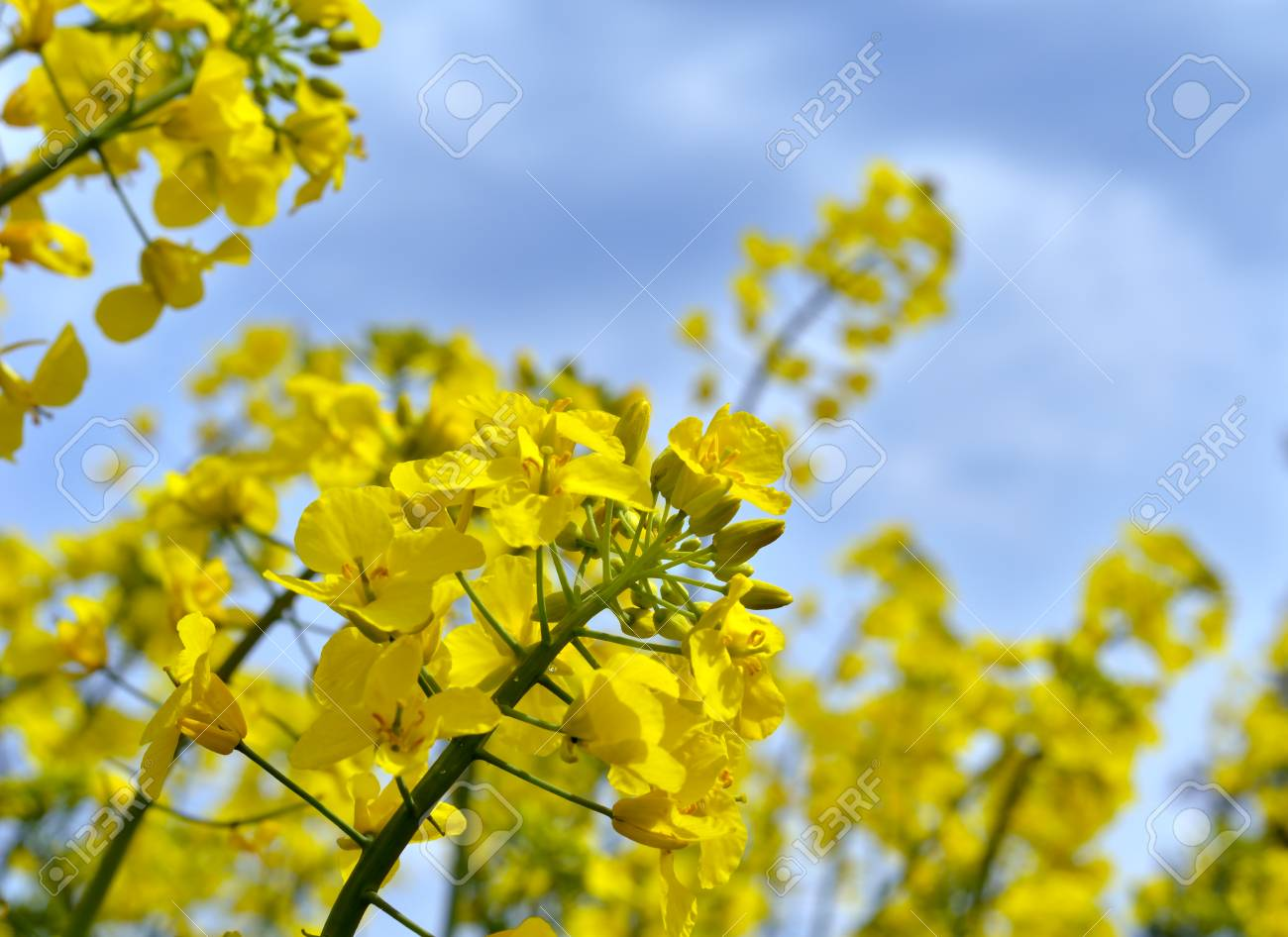 Rapeseed (Brassica napus). Field of bright yellow rapeseed in summer. - 72486262