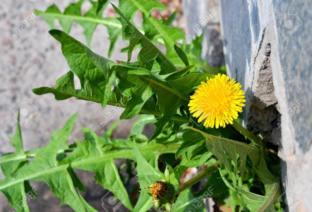 Dandelion flower growing from pavement - 72096045