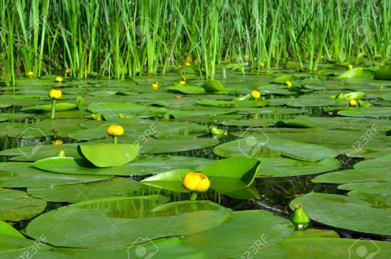 Water lily on the river Dnieper. Blossoming Water-lily. - 76563162