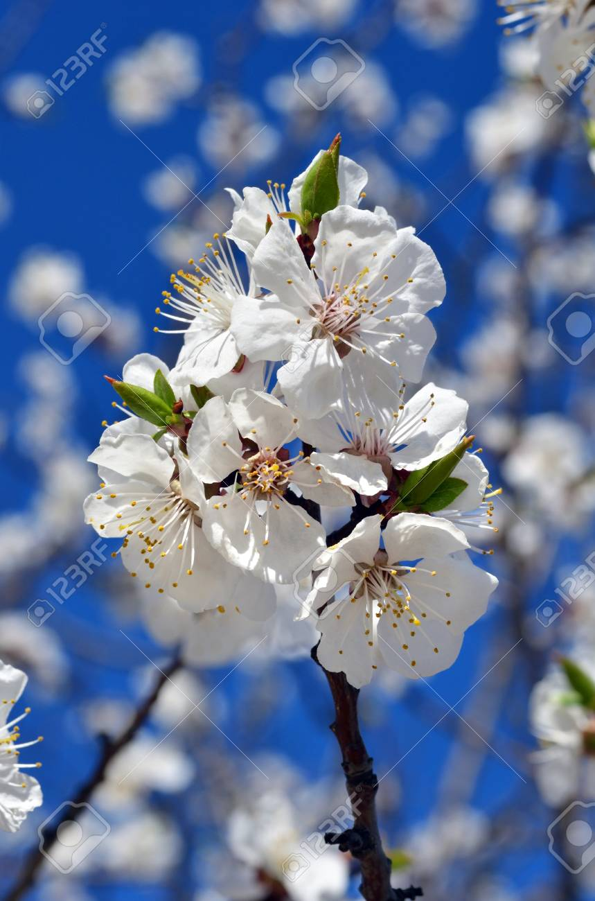 Spring nature background. Cherry blossoms against the blue sky. - 95536510