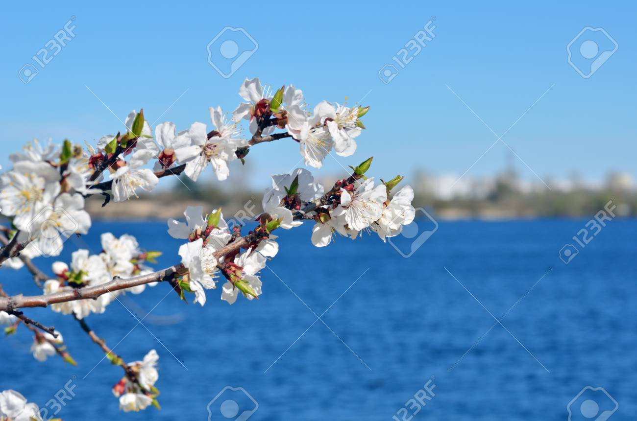 Spring nature background. Cherry blossoms against the blue sky. - 95523670