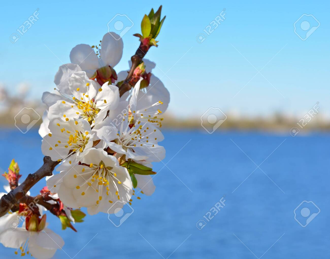 Spring nature background. Blooming apricot against the blue sky. - 121735980