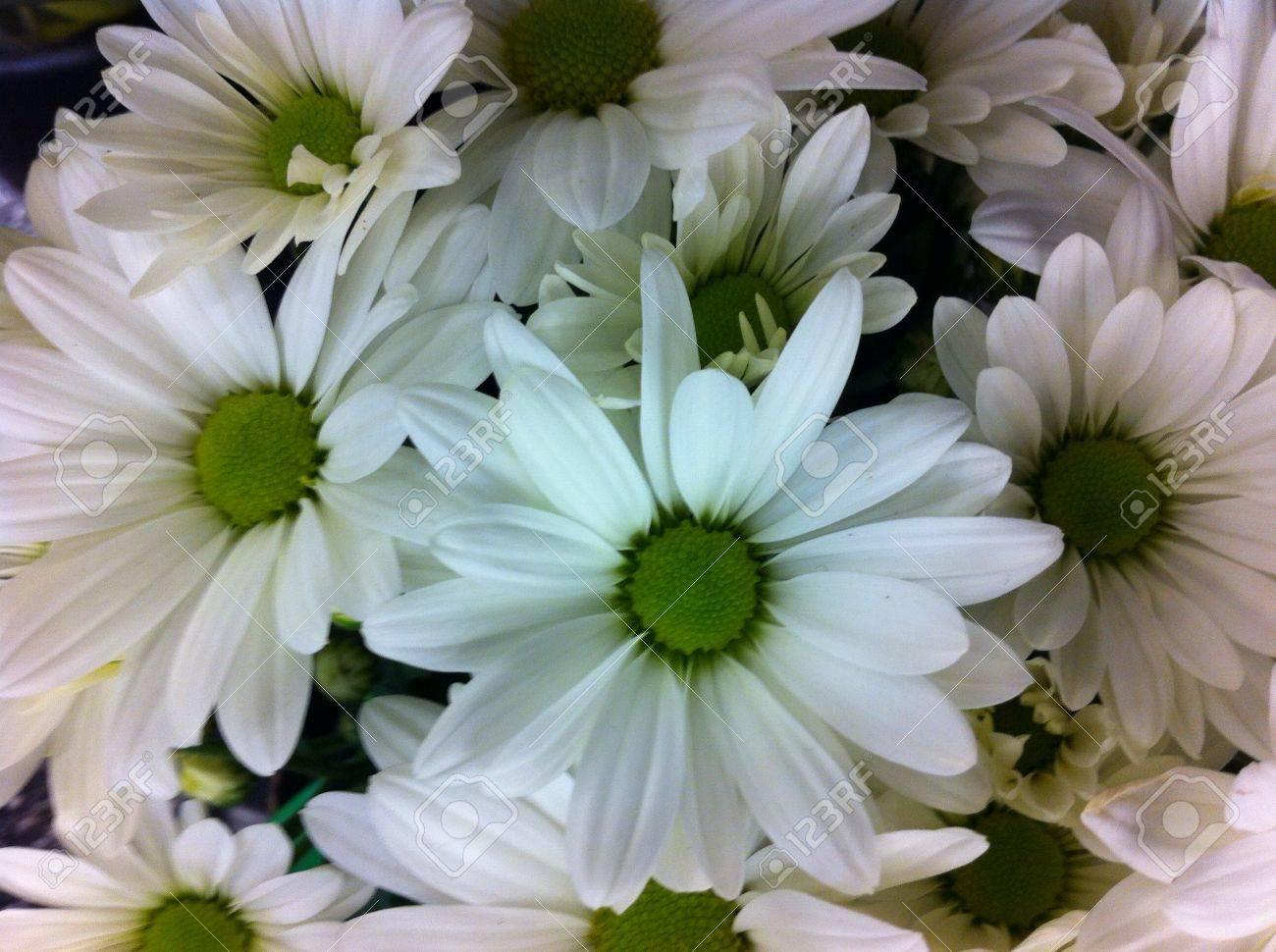 White Flowers Mum Crisantemos Flores Blancas Stock Photo Picture