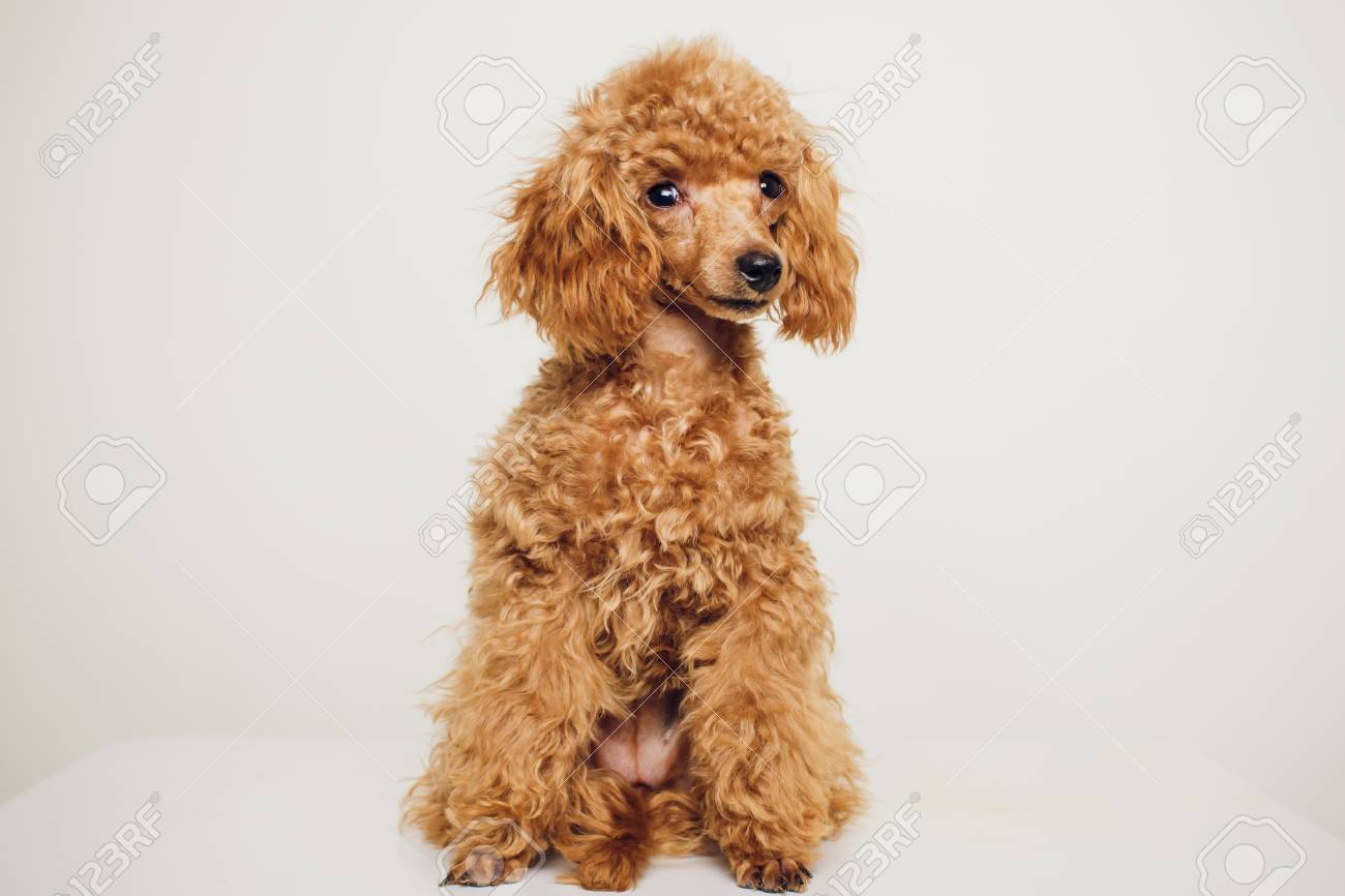 Great Fur Brown Adorable Dog - 91598929-adorable-mini-toy-poodle-with-golden-brown-fur-on-a-white-background  Trends_551494  .jpg