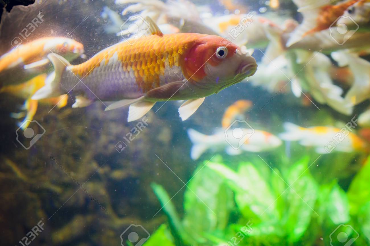Koi Swimming In A Water Garden,Colorful Koi Fish,Detail Of Colorful ...