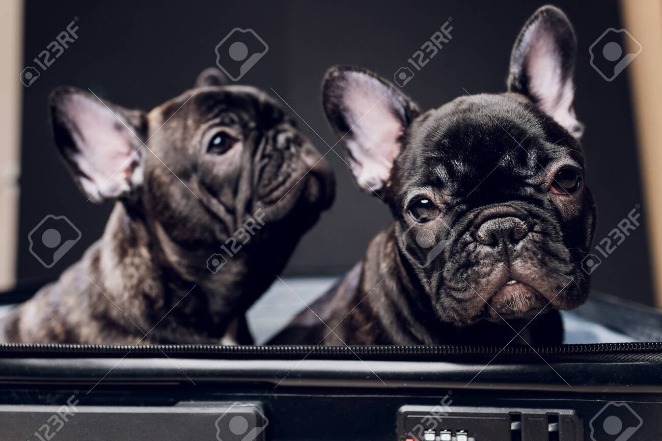 French bulldog sitting on the luggage ready for travel. - 139910912