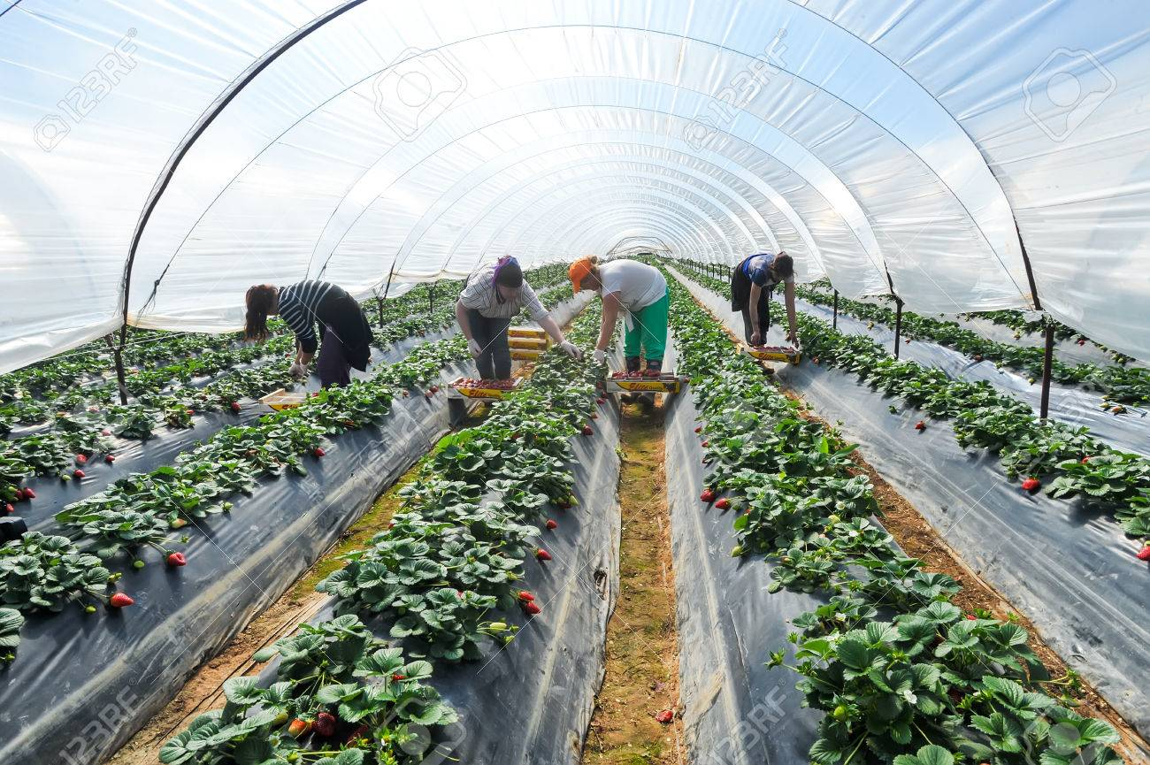 Manolada, Ilia, Greece - March 3, 2016: Immigrant seasonal farm workers (men and women, old and young) pick and package strawberries directly into boxes in the Manolada  of southern Greece. Standard-Bild - 54842732