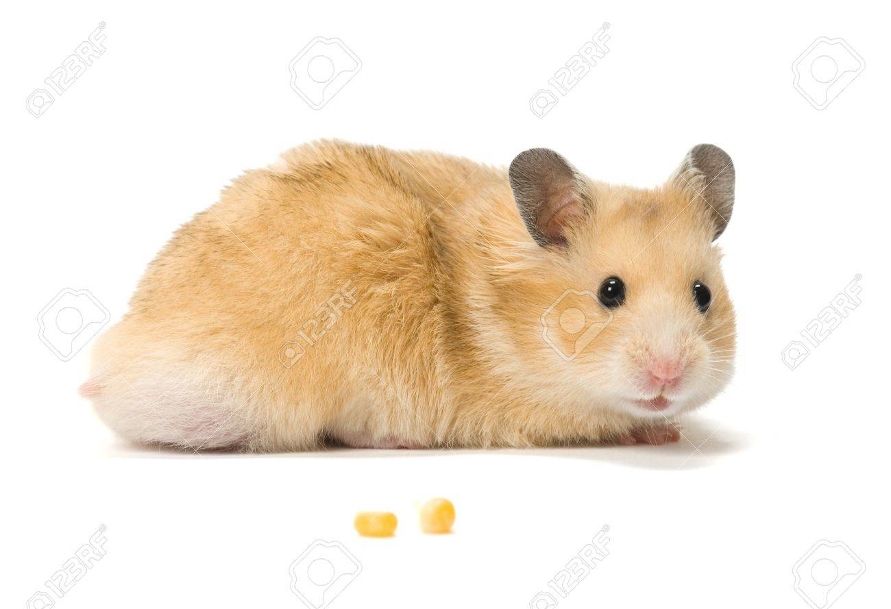 Male hamster and corn seeds on white background. Stock Photo - 10437309