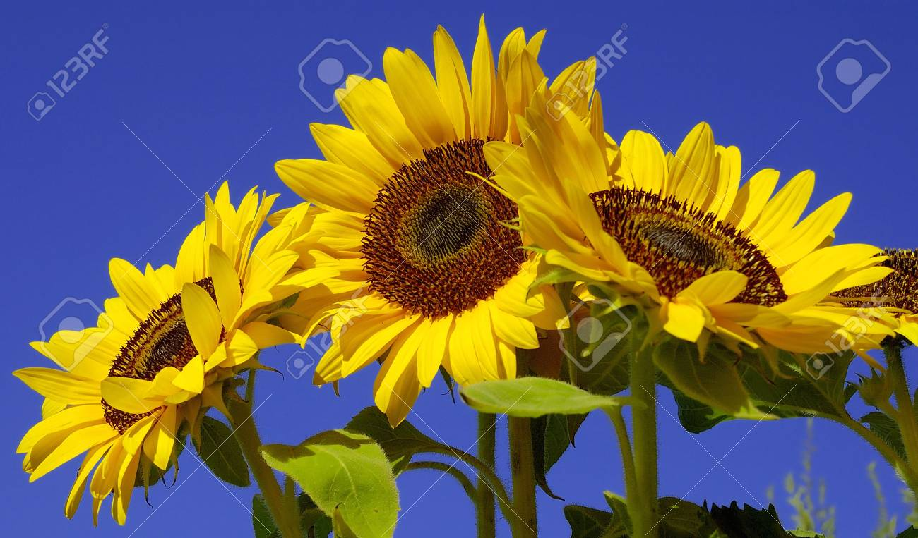 Sunflowers from Below Stock Photo - 1079145