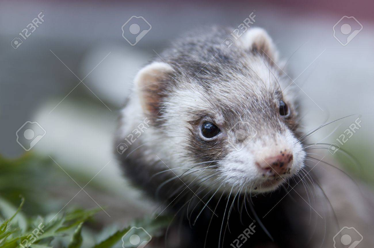 Zoomed ferret face with dirty nose looking somewere Stock Photo - 13849962