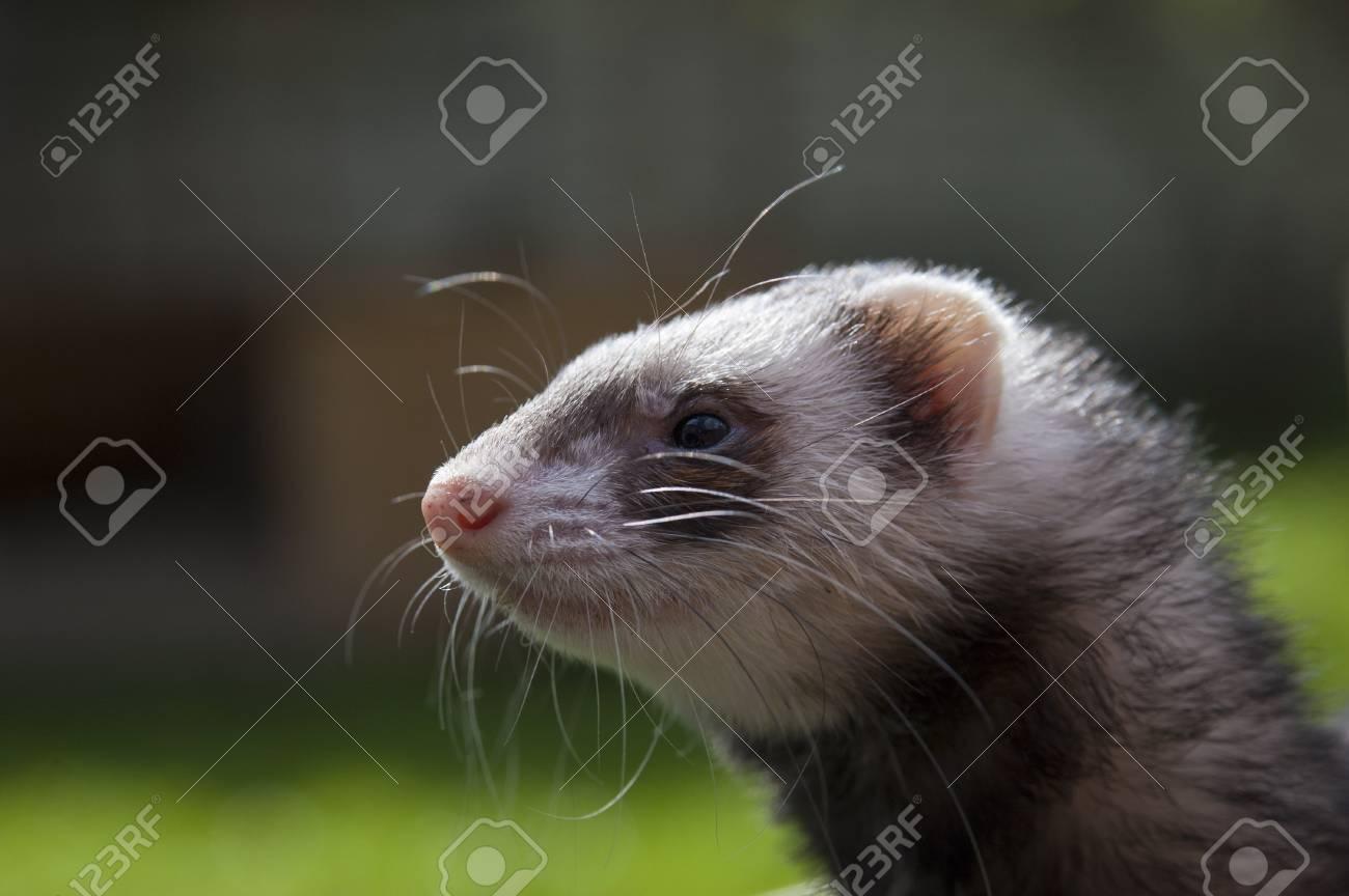 Satisfied ferret posing on camera on green field Stock Photo - 13849972