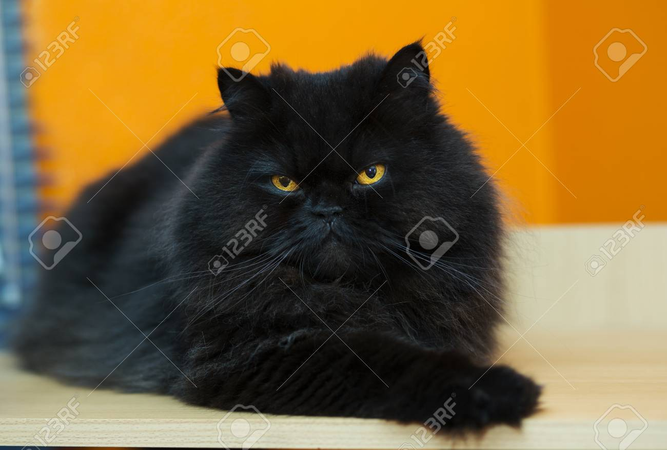 Black male cat express anger at orange background Stock Photo - 21926915