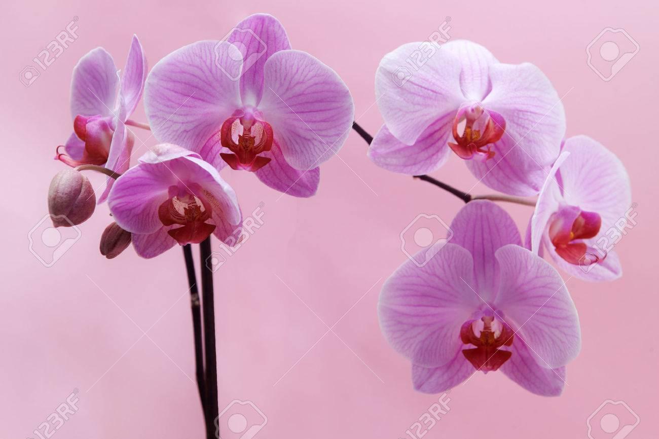 Belle Fleur D Orchidee Rose Sur Fond Rose Banque D Images Et Photos