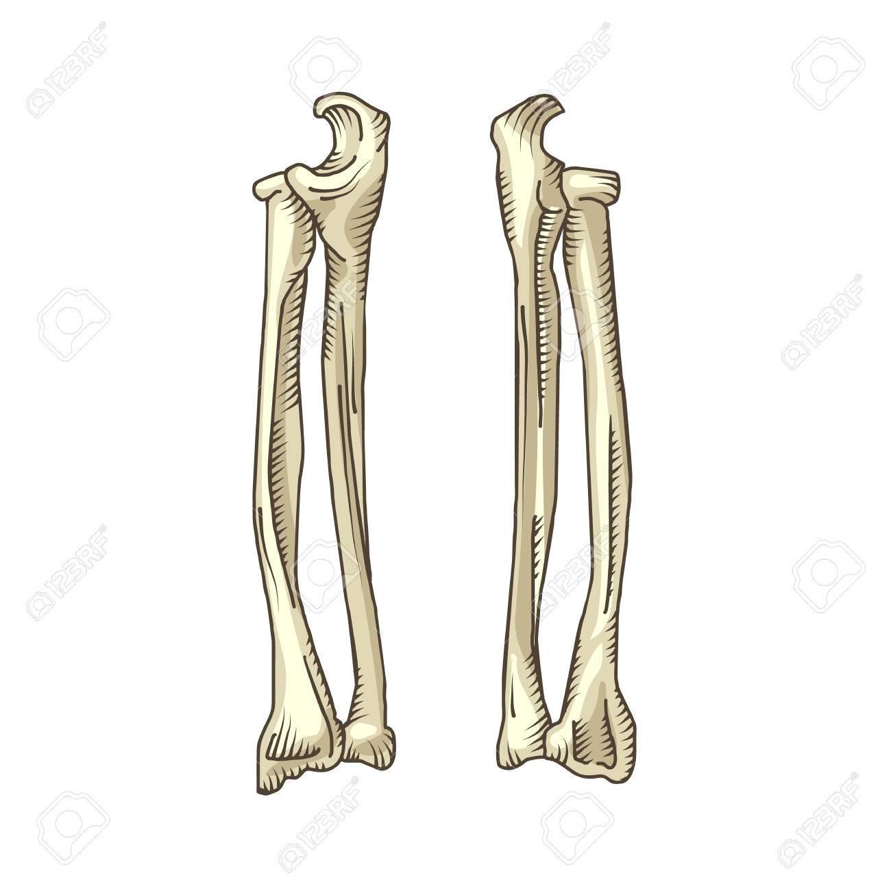 Großzügig Menschliche Beinknochen Galerie - Menschliche Anatomie ...