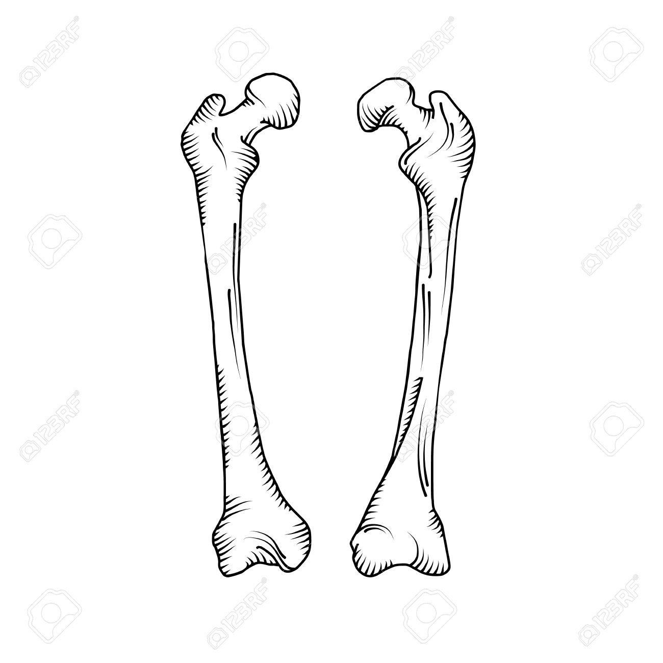 Dibujado A Mano Huesos Humanos Realistas. Ilustración Del Vector ...