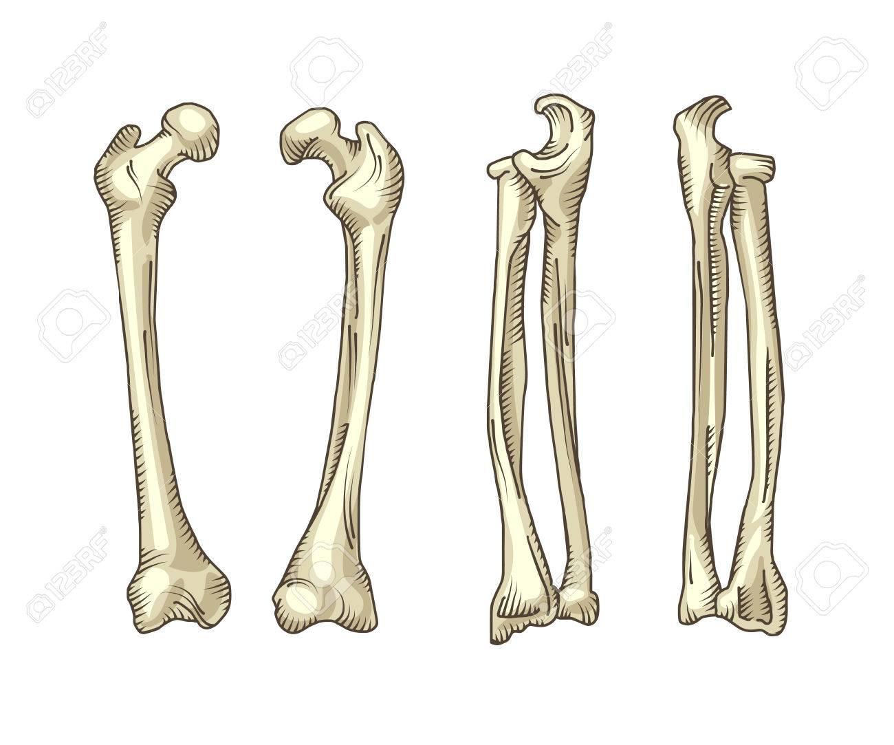 Hand Drawn Realistic Human Bones Vector Illustration Isolated