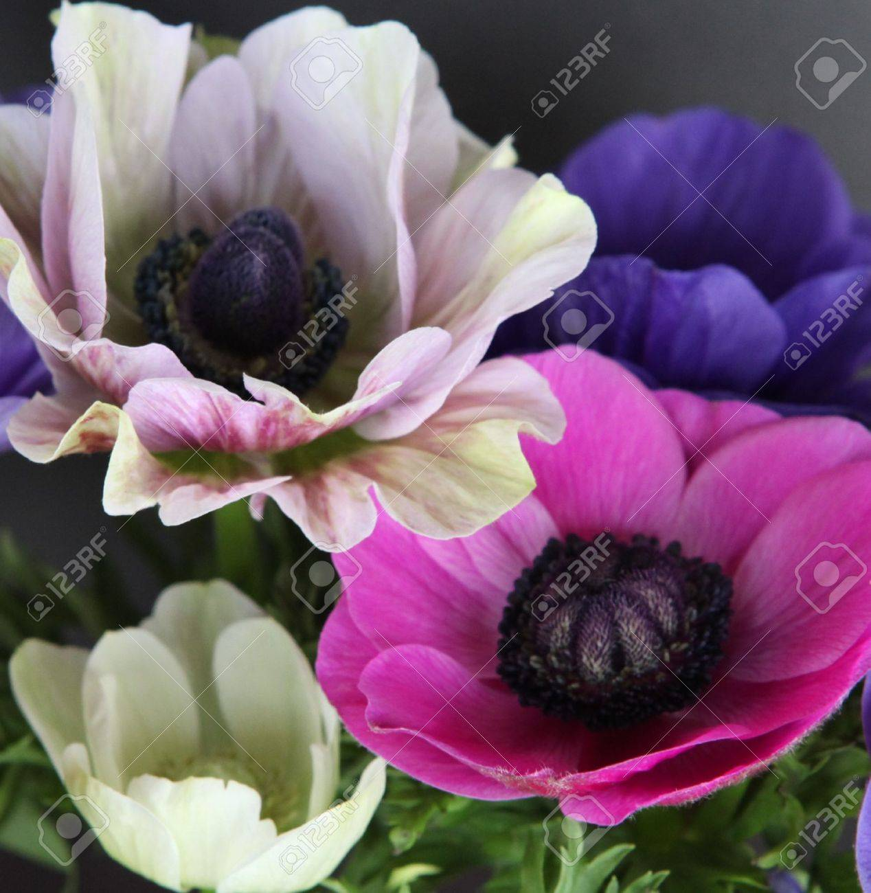 colorful poppies stock photo, picture and royalty free image, Beautiful flower
