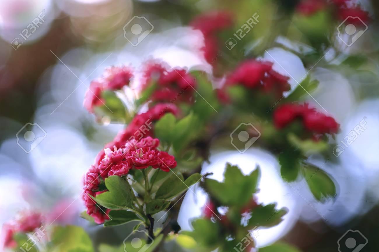 Eitelkeit Blumen Mai Referenz Von Rosa Weißdorn In Den Strahlen Der Mai-sonne.