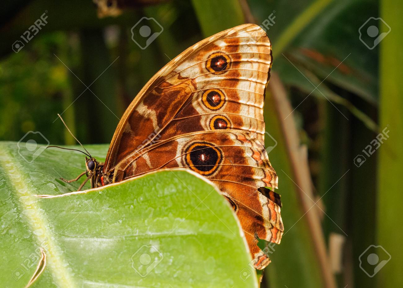 A Morpho peleides butterfly resting on a leaf. In evidence the morphology of the animal,the geometric and colorful design of the wings - 96397007