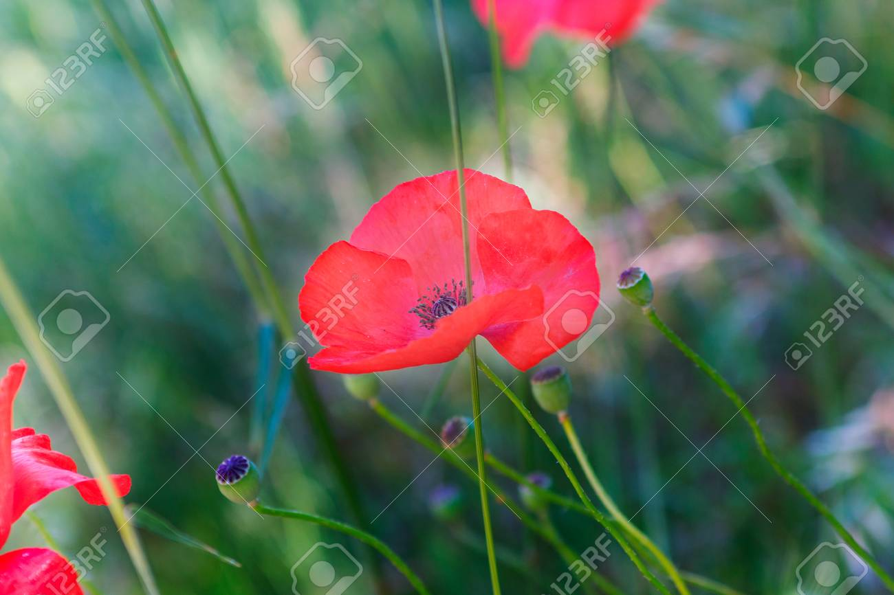 Close Up Of A Poppy Flower In The Grass A Stem Of Poppy Goes