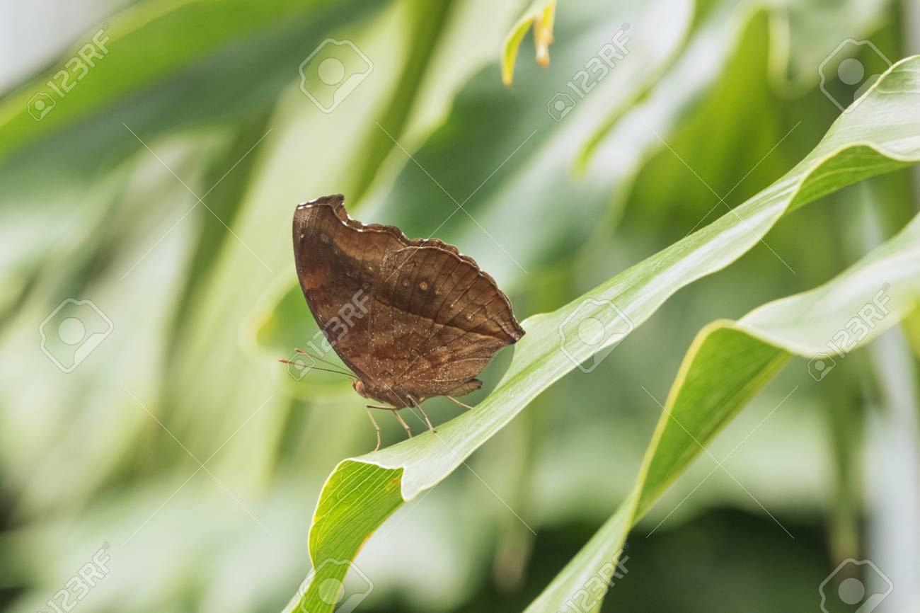 Brown butterfly on a leaf, out of focus background, color shading, daylight - 104417191