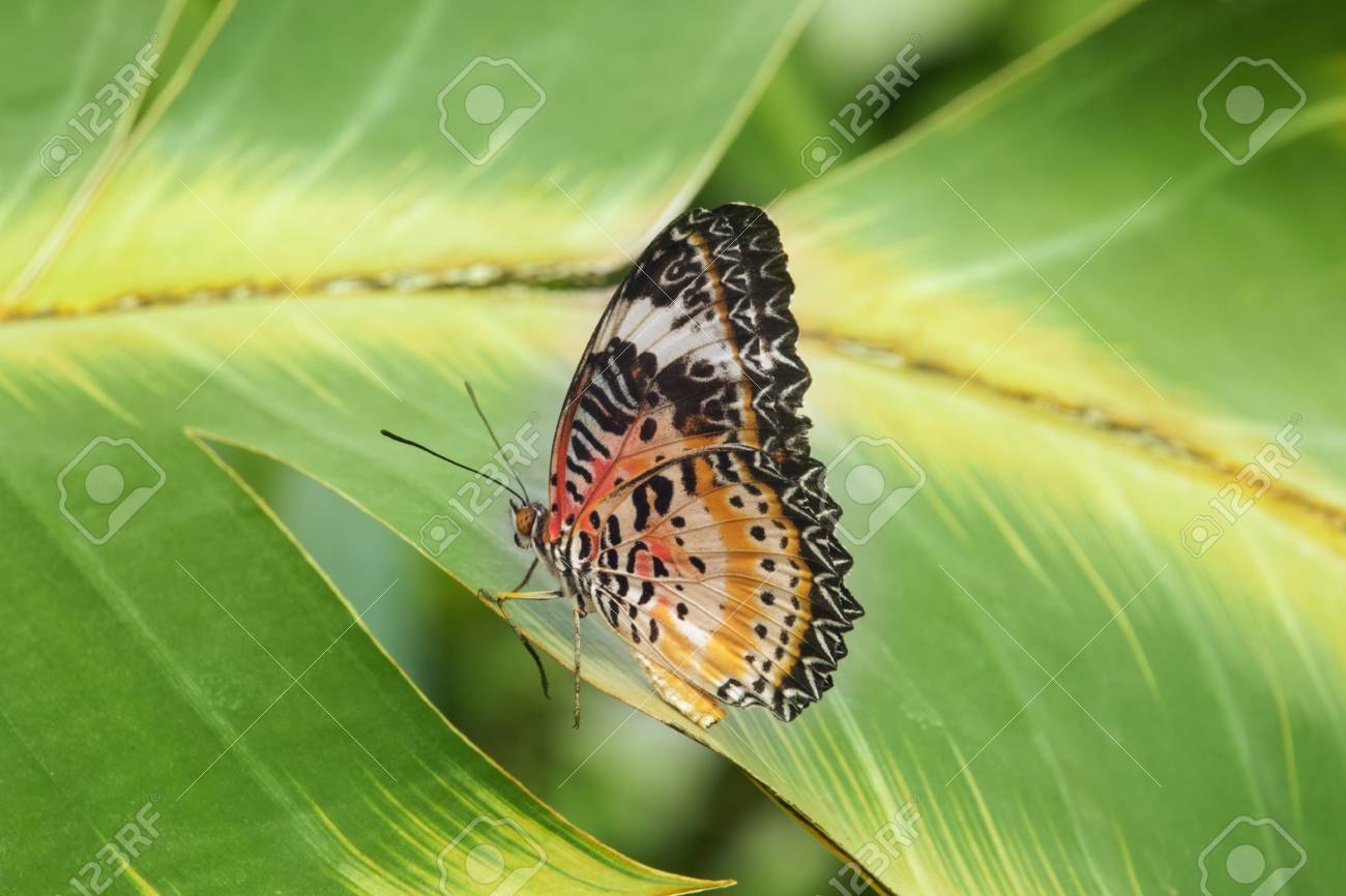 A butterfly -cethosia biblis -is resting on a leaf, funny legs posture, bright colors, impressive geometric wings shape - 104417194