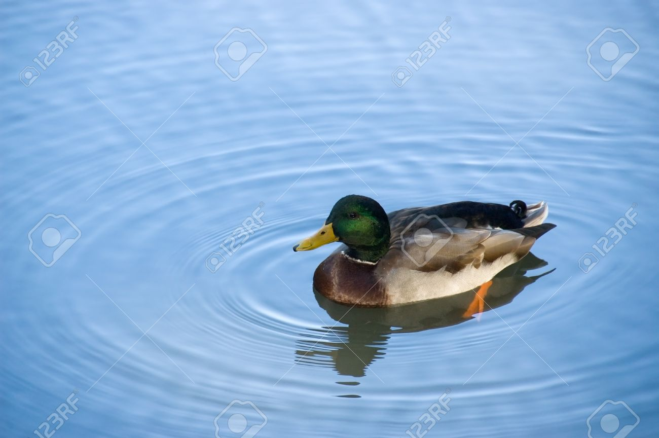 Duck in the lake Stock Photo - 11962760
