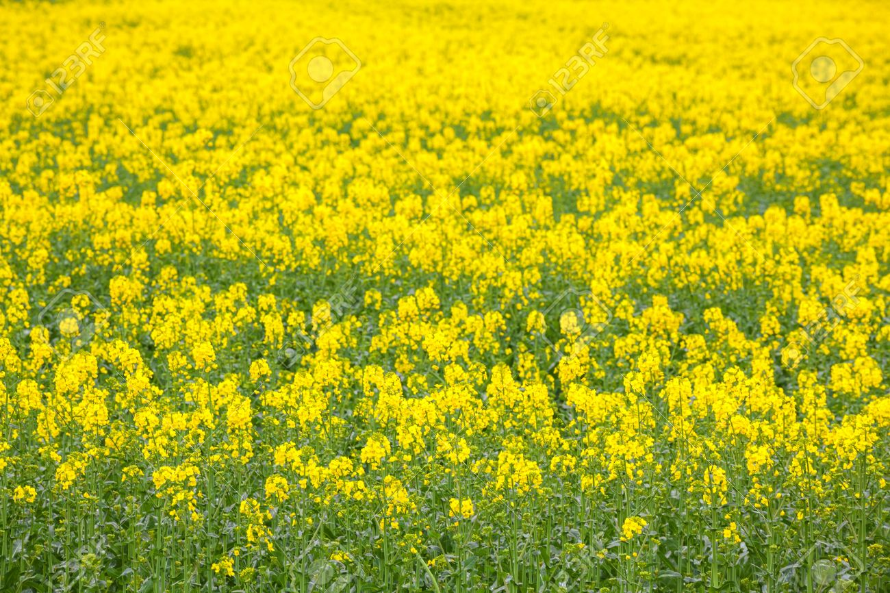 yellow canola oil seed flower field stock photo picture and royalty