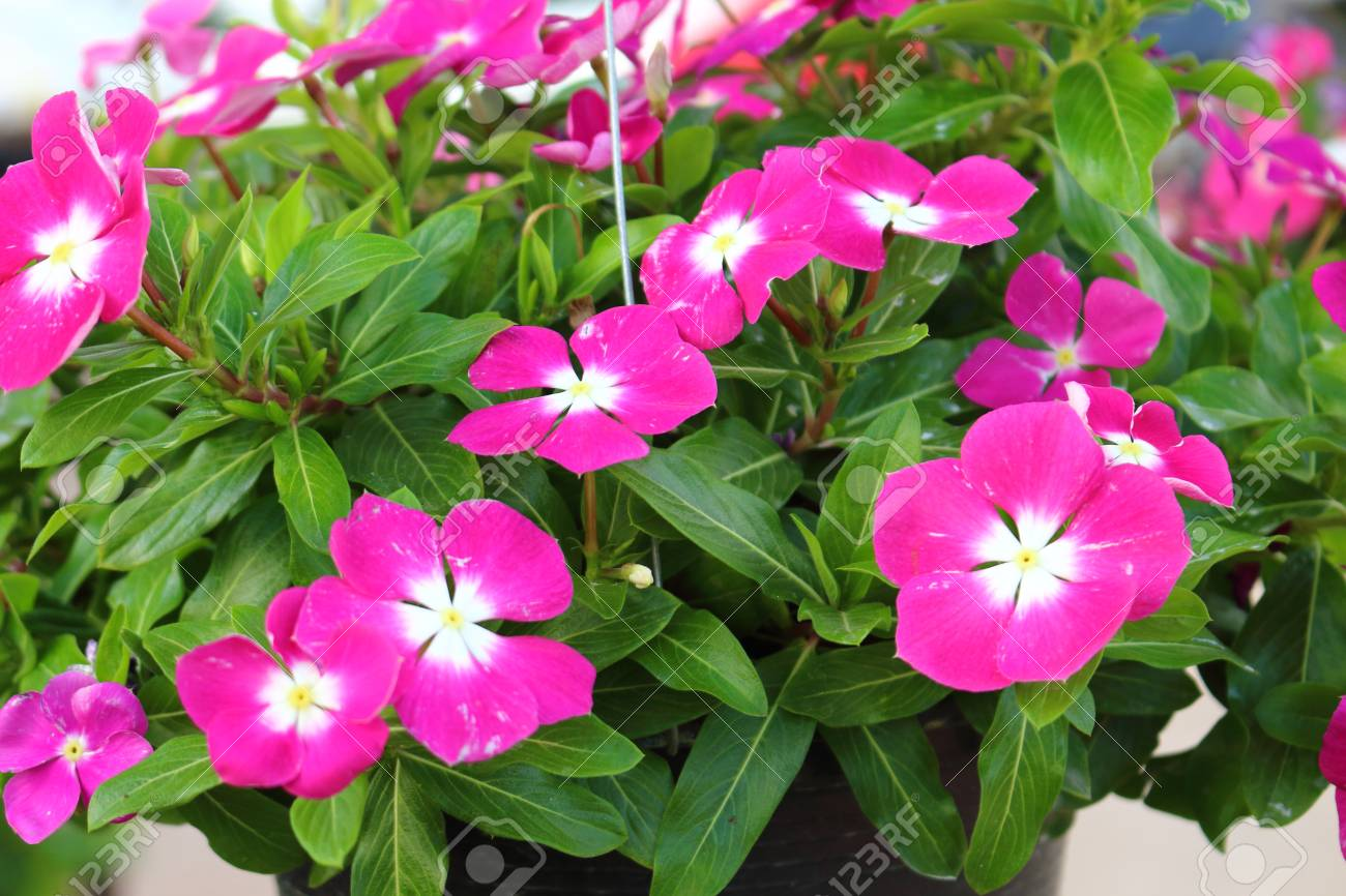 Vinca Flower Colorful Nature Stock Photo Picture And Royalty Free