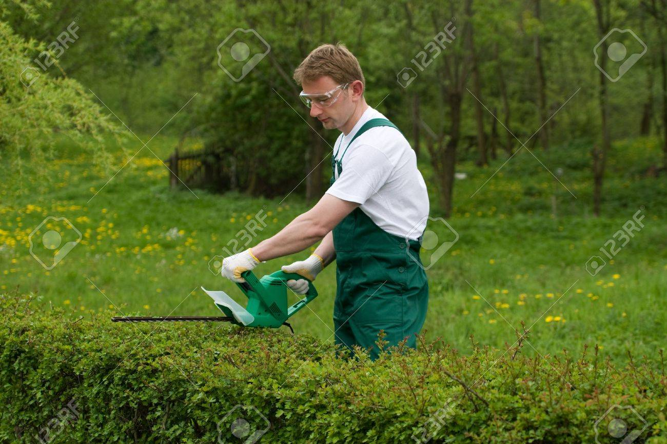Gardener is trimming the hedge. - 4815006