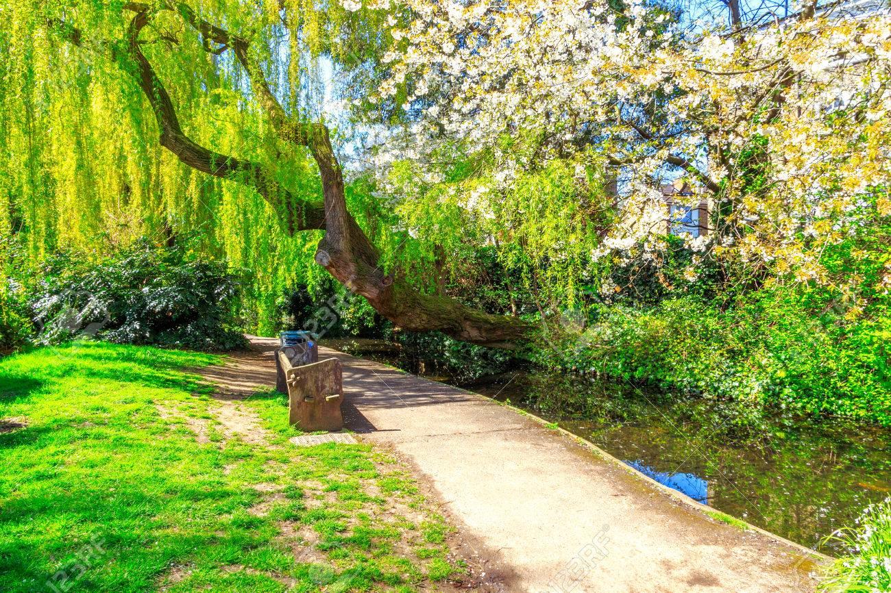 Un Arbre De Saule Pleureur Blanc Fleur De Cerisier Un Chemin Et Le
