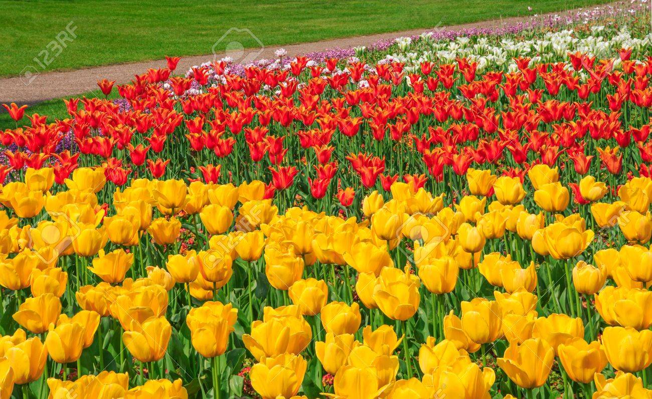 yellow, red and white tulips blooming at the flower garden in..