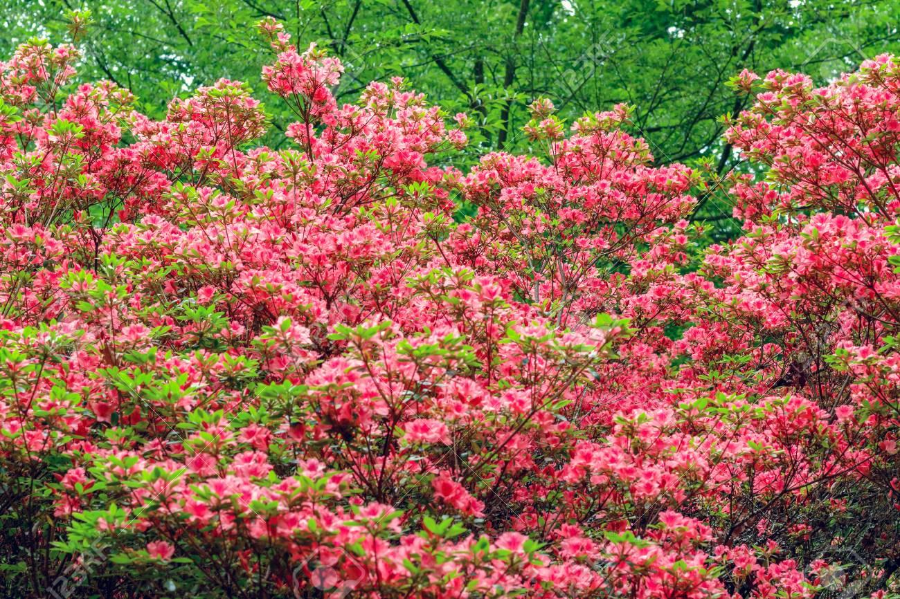 Spring Flowers In Isabella Plantation A Woodland Garden In Richmond