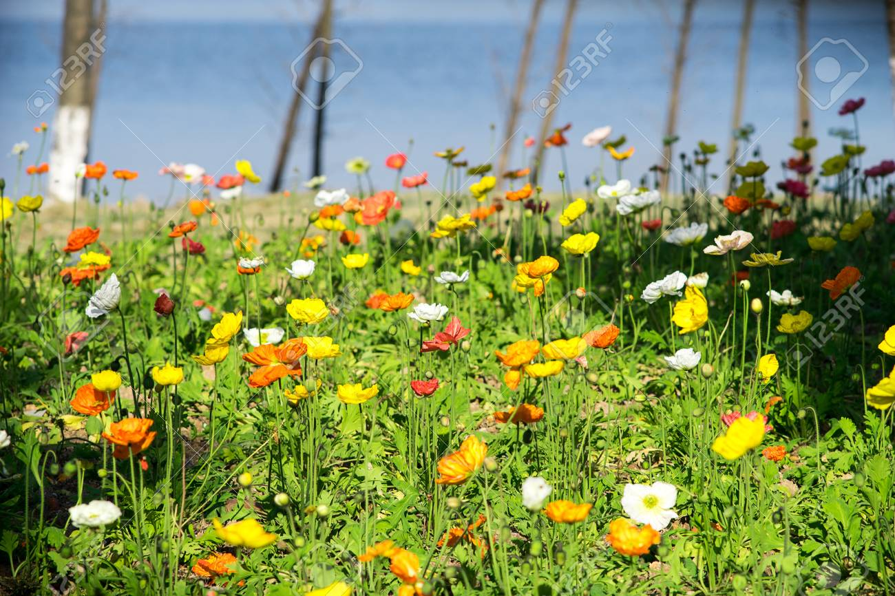 Iceland poppy flower stock photo picture and royalty free image iceland poppy flower stock photo 52155599 mightylinksfo