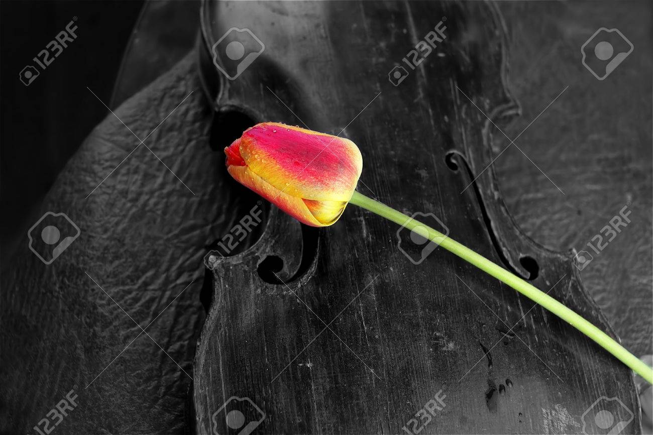 Old violin and red tulip black and white shot with color accent on flower concept of