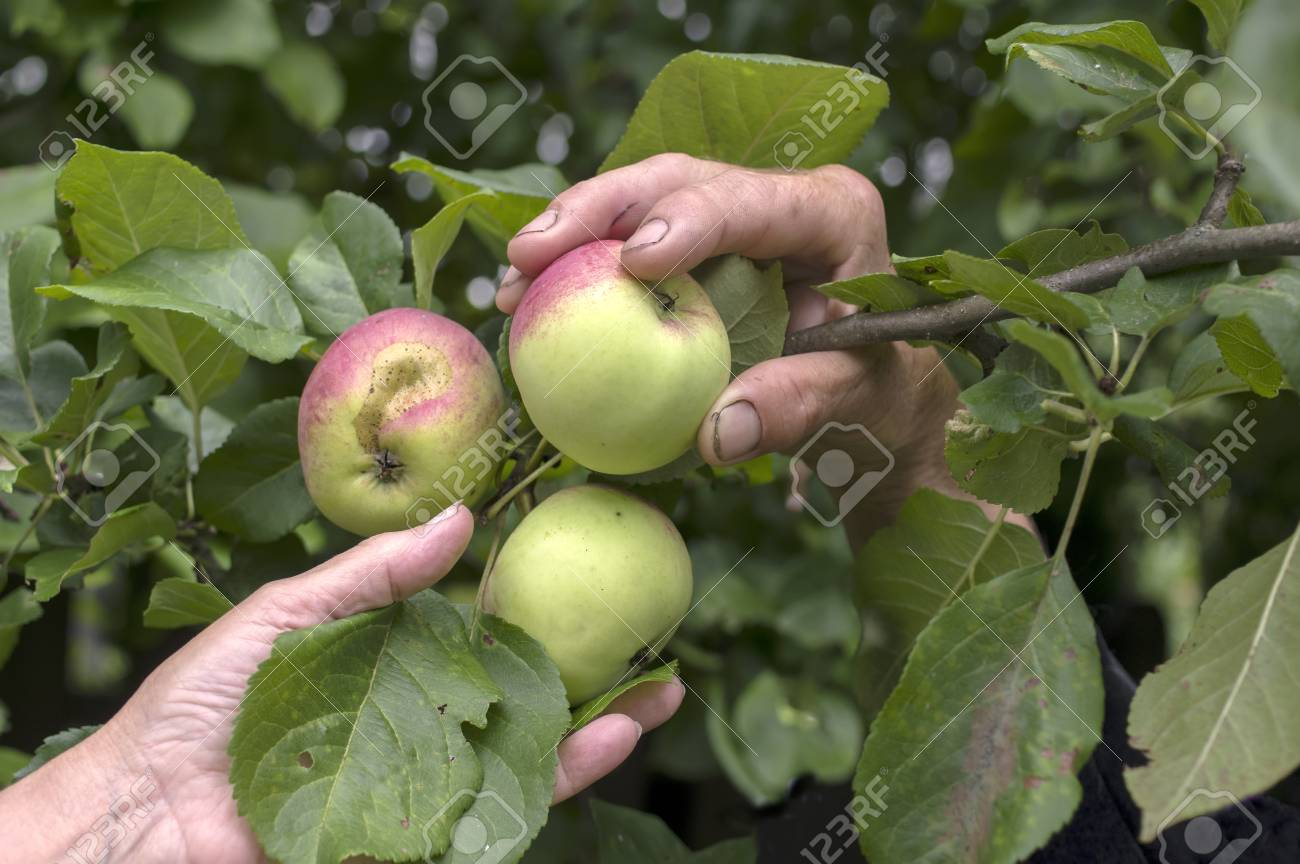 Male And Female Fruit Trees Part - 20: Male And Female Hands Picking Up Ripe Apples From An Apple Tree, Closeup  Outdoor Shot