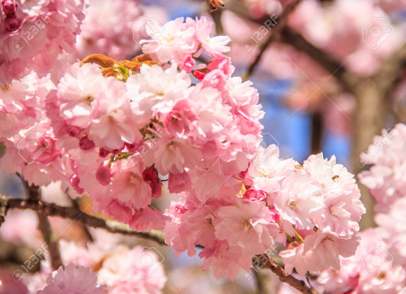 Close Up Beautiful Pink Cherry Blossom Flowers In During The Stock