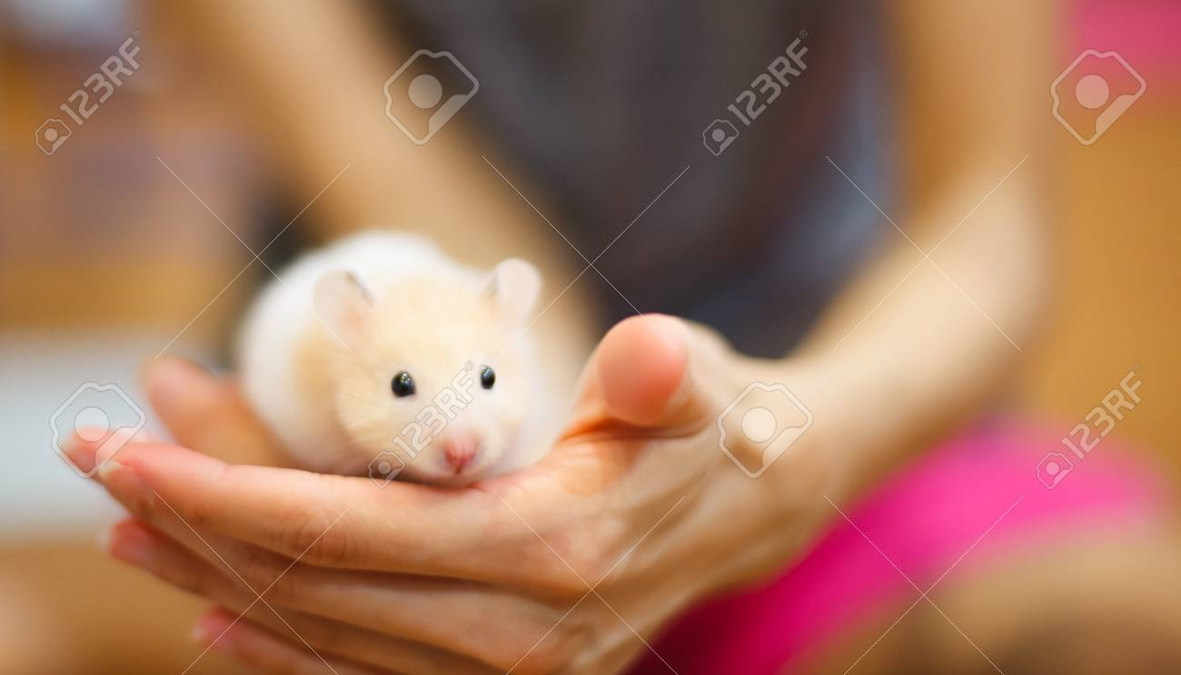 Front view of Cute Orange and White Syrian or Golden Hamster