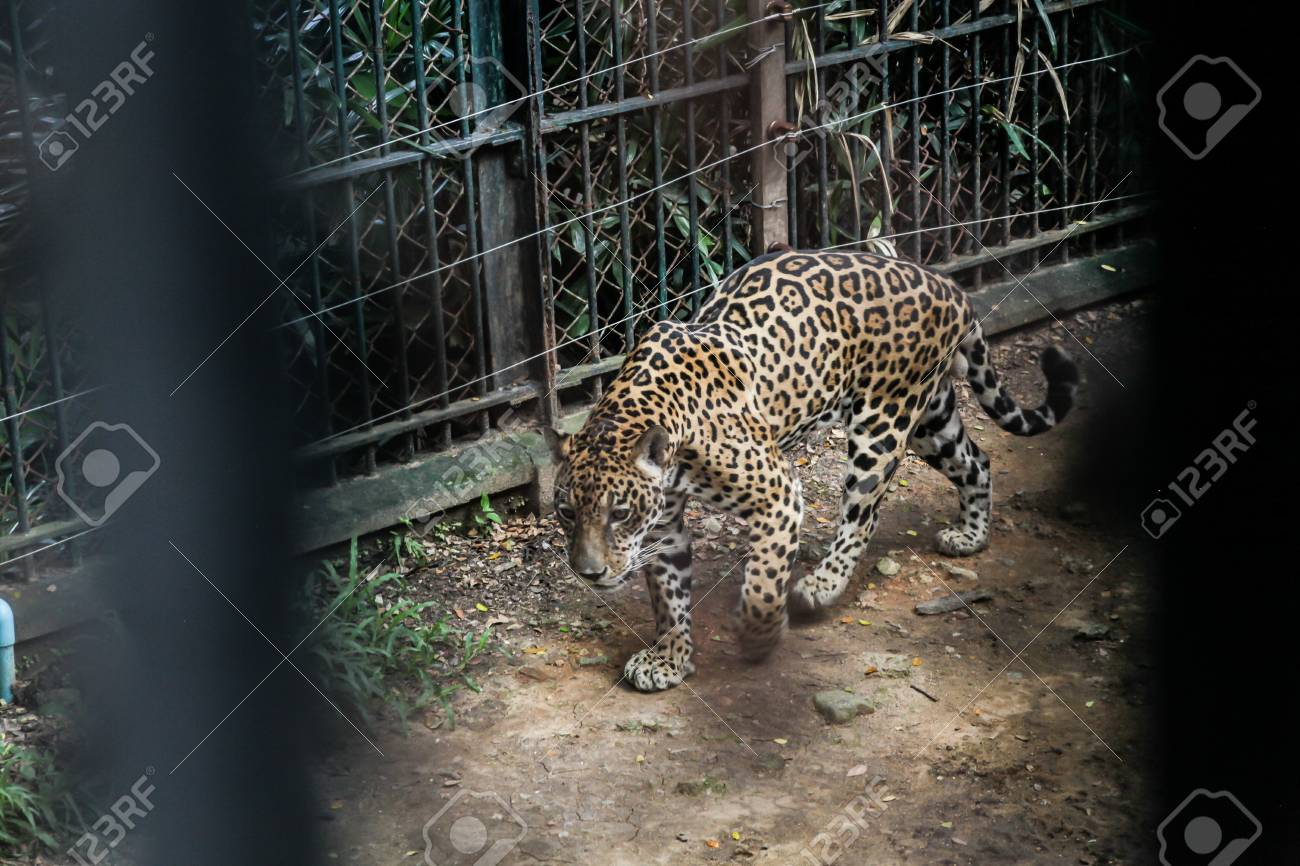 Animal in zoo captivity: Jaguar, the biggest cat in the Americas. Solitary, formidable predator animals, muscular body build, deep chest, large head, broad muzzle and strong jaws. Dense forest habitat - 115317763