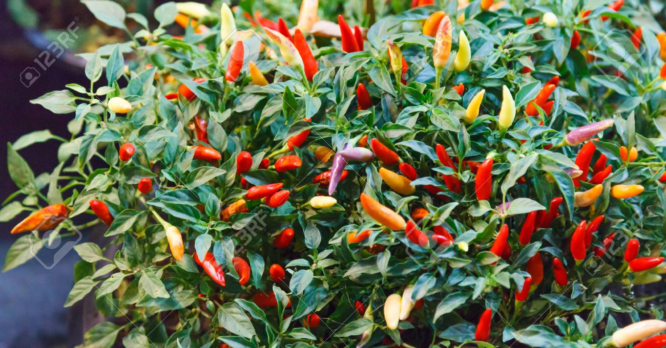 Chili Pepper Chile Chile Pepper Chilli Pepper Or Chilli Spicy Stock Photo Picture And Royalty Free Image Image 118542826