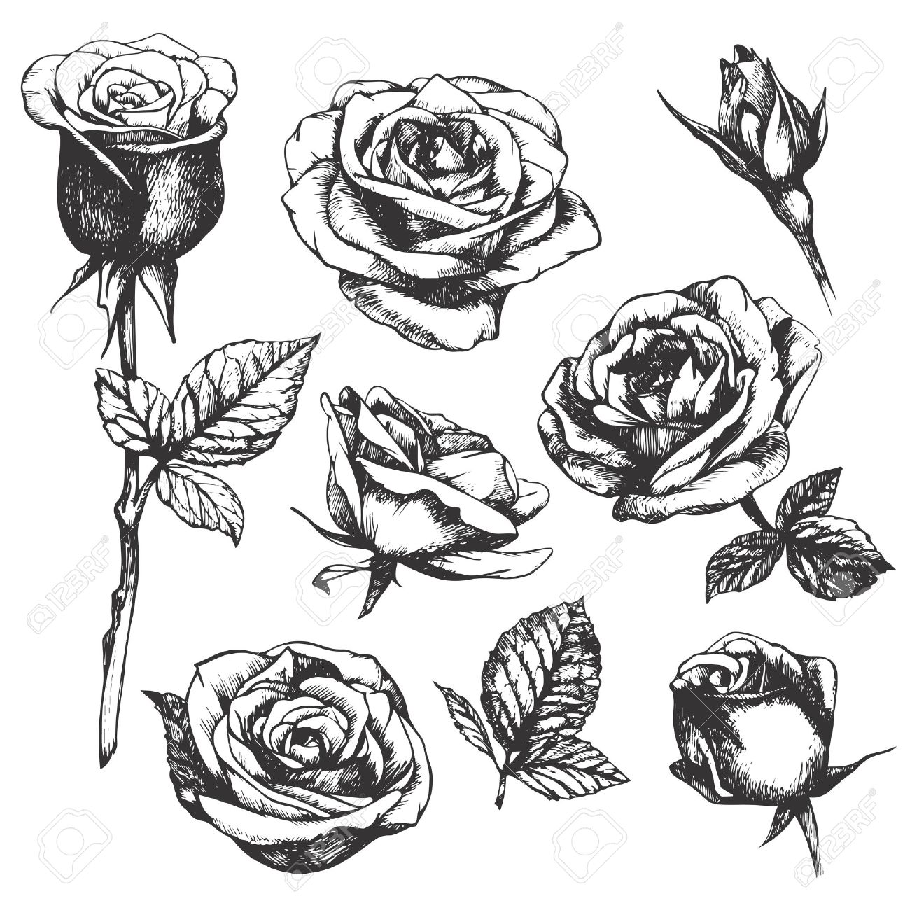 Set Of Highly Detailed Handdrawn Roses Vector Royalty Free