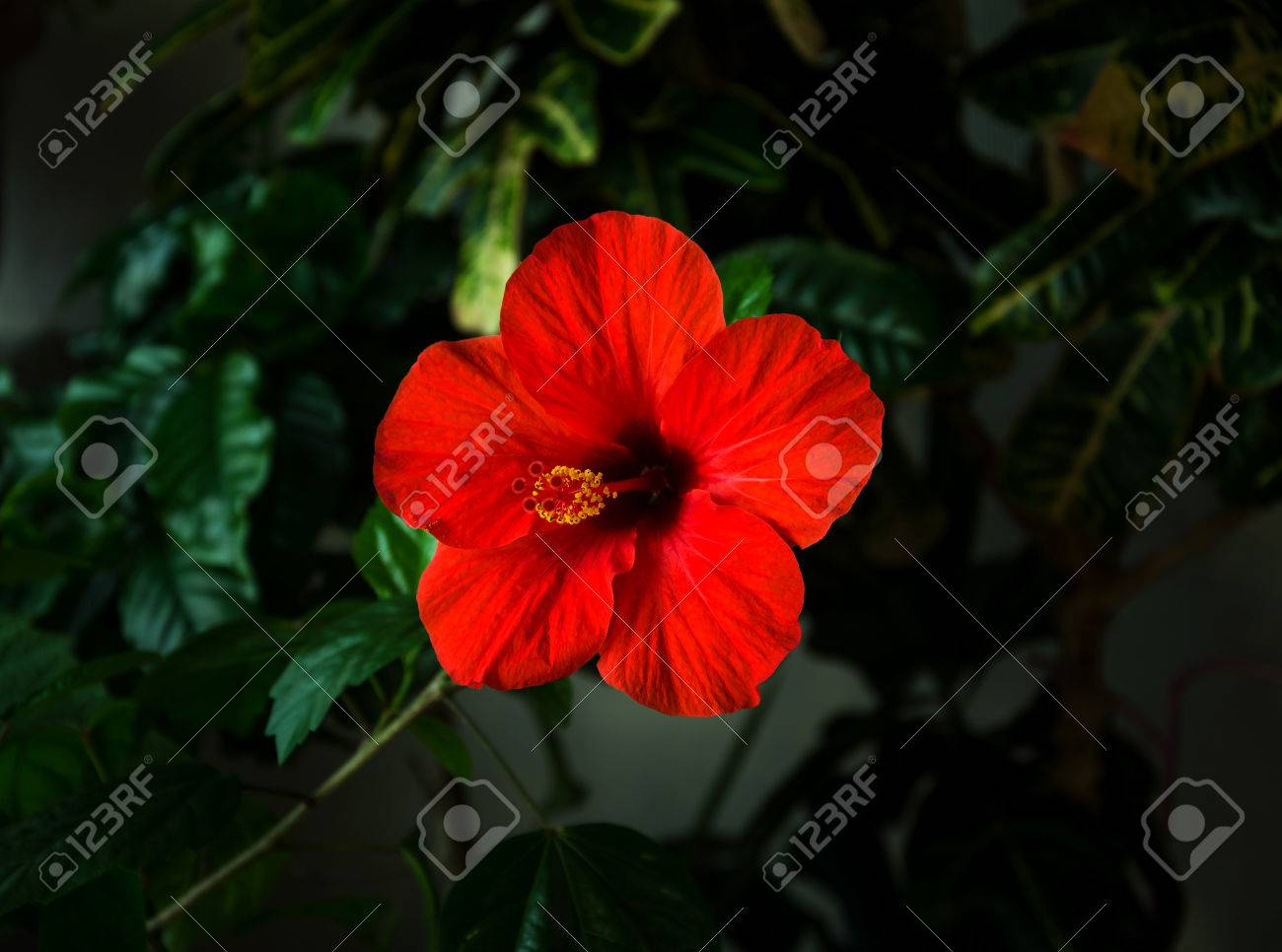 Red Hibiscus Flower With A Pestle Stamens And Green Leaves On