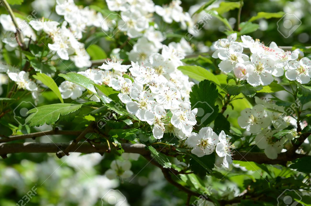 Spring Flowers In The Month Of April Cherry Fruit Tree With White