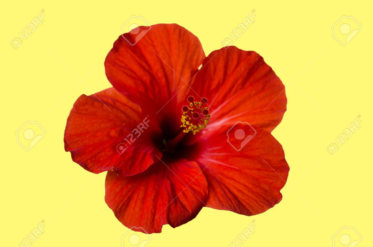 Red Hibiscus Flower With Petals Stamens And Pistil On A Light