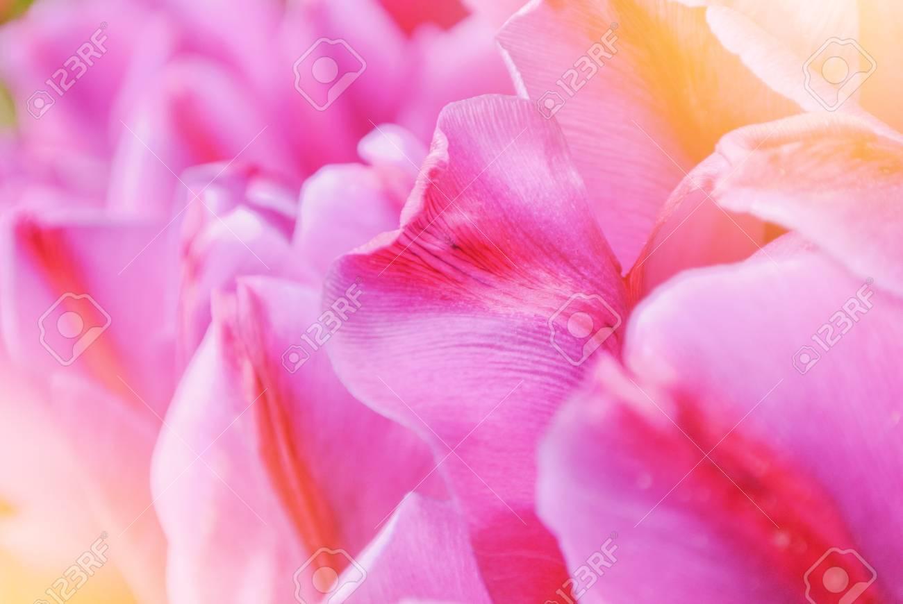 クローズアップマクロ美しいピンクの紫の赤い鮮やかなチューリップの